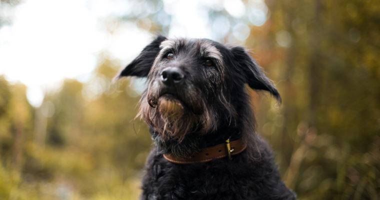 Hebbe 16 år! Hvordan kan man få en hund som lever lenge?